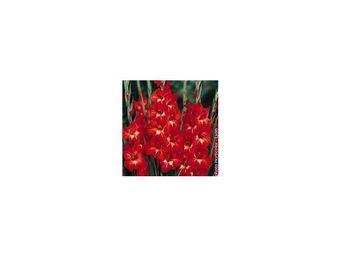 LES DOIGTS VERTS - bulbe gladiolus traderhoen x10 - Bulbes De Fleurs