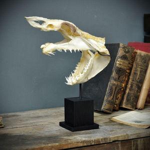 Objet de Curiosite - crâne complet de requin mako - Taxidermy