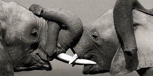 Nouvelles Images - affiche éléphants d'afrique - Poster