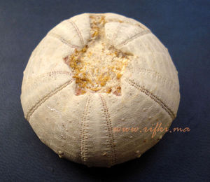 Minéraux et fossiles Rifki - oursin fossilisé  - Fossilie
