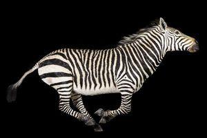 MASAI GALLERY - zèbre à la course - Ausgestopftes Tier