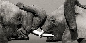 Nouvelles Images - affiche éléphants d'afrique - Plakat