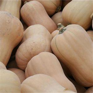 FERME DE SAINTE MARTHE - courge butternut ab - Semilla