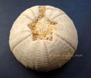 Minéraux et fossiles Rifki - oursin fossilisé  - Fossile