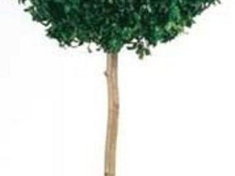 Hortus Verde - pittosporacée - Topiaria Per Interni